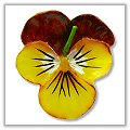 Johnny Jump Up Flower Floating Pool Candles - Maroon / Yellow (Each) bpi-308bp00ma