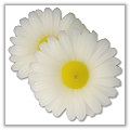 Daisy Blossom Floating Candles 3 inches - white a-fl-daisy-med
