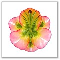 Day Lily Flower Floating Candles - Mini - Light Pink bpi-321bpsml